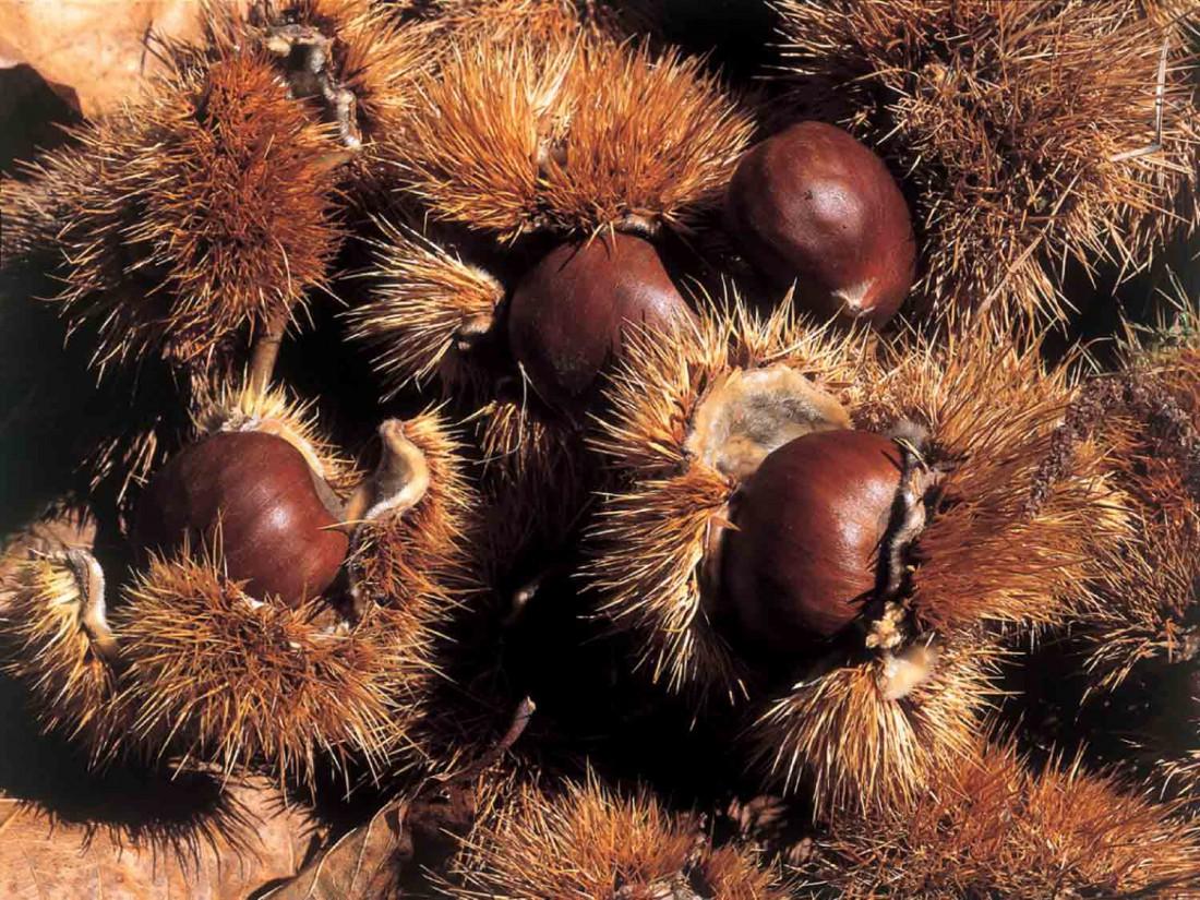 prodotti-tipici-vallagarina-marroni di castione-Festa della Castagna-castagne-prodotti tipici