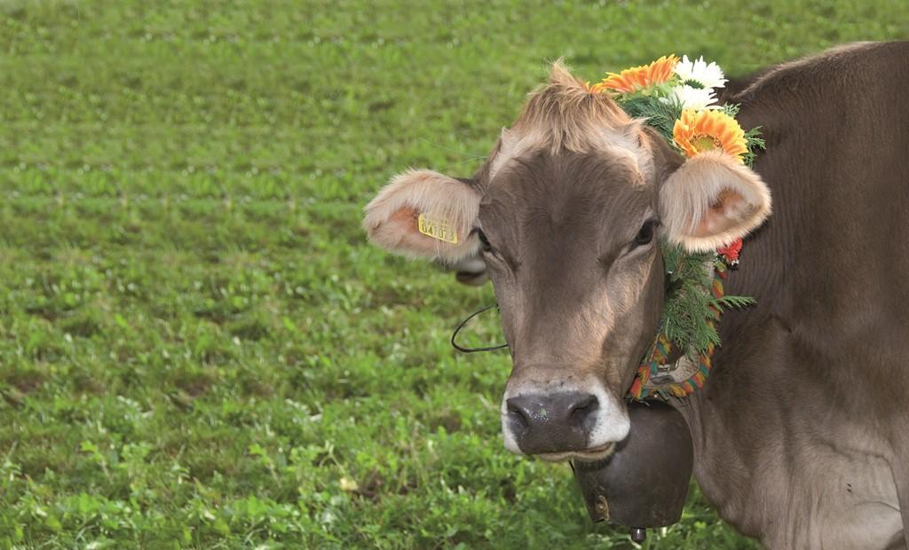 Mucche-Parco-del-Monte-Baldo