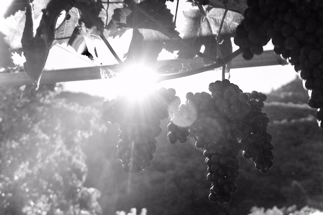 La vigna eccellente - Marzemino - Federico Rosina