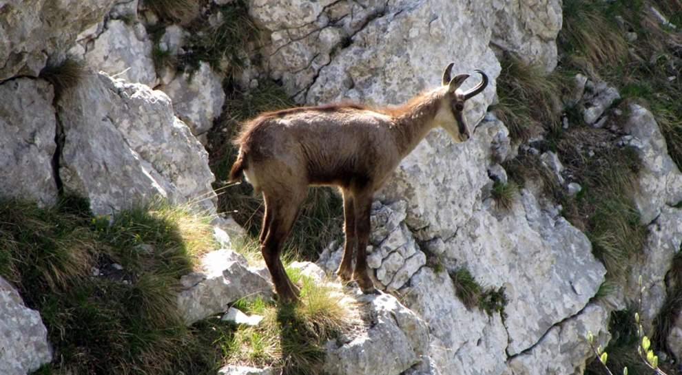 Camosci sul Monte Baldo