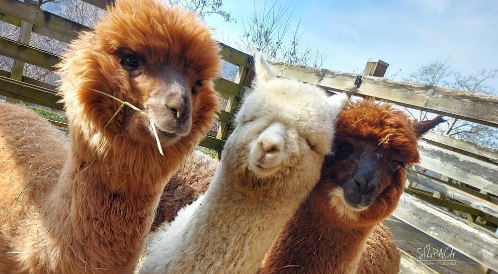 alpaca-silpaca